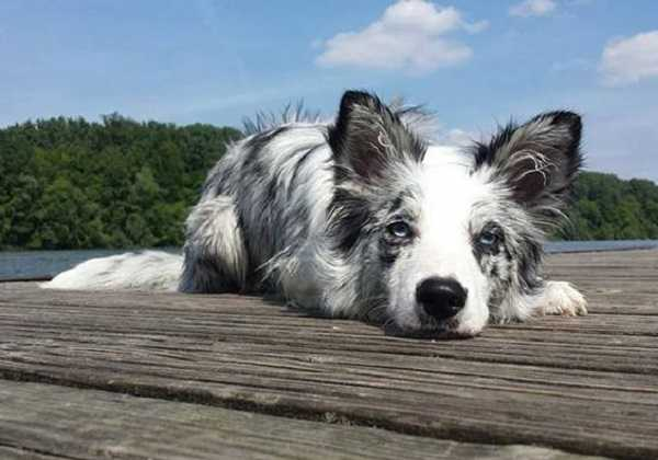 border collie5