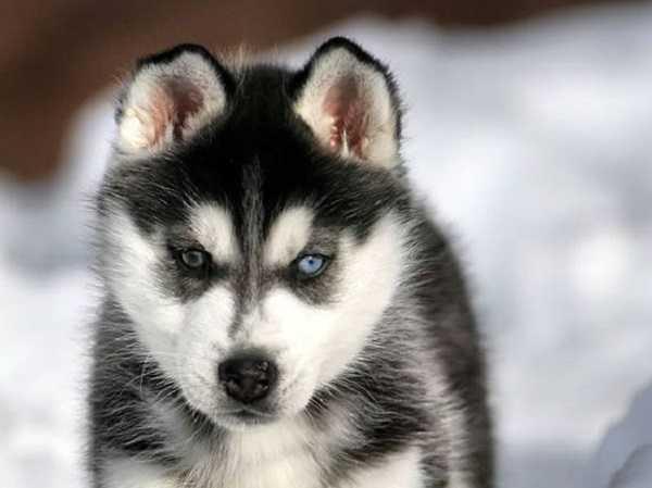 Cani da slitta tutte le razze idee green - Husky con occhi diversi ...