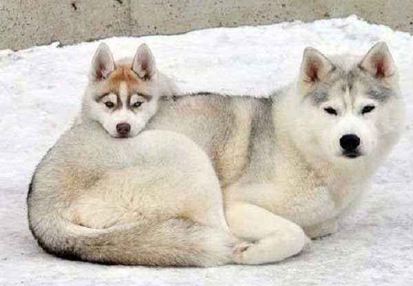 Cani da slitta: tutte le razze - Idee Green
