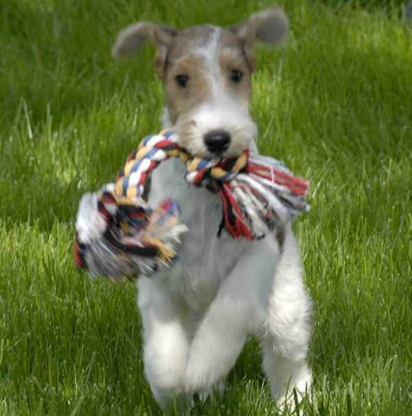 fox terrier2