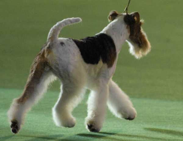 fox terrier3