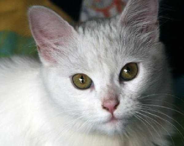 gatto angora turco1