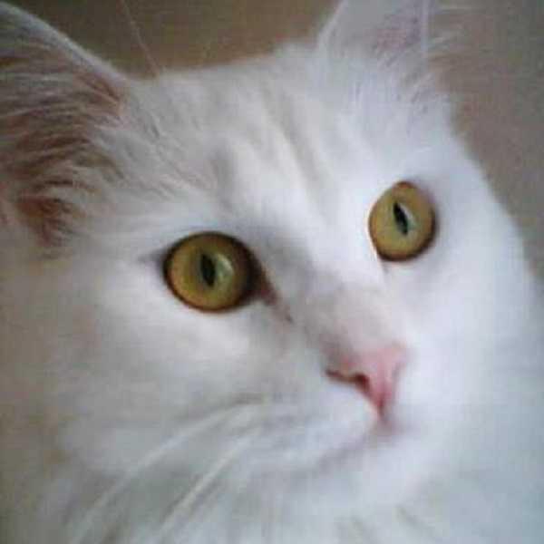 gatto angora turco2