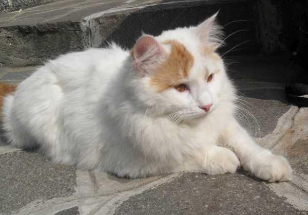 gatto angora turco3