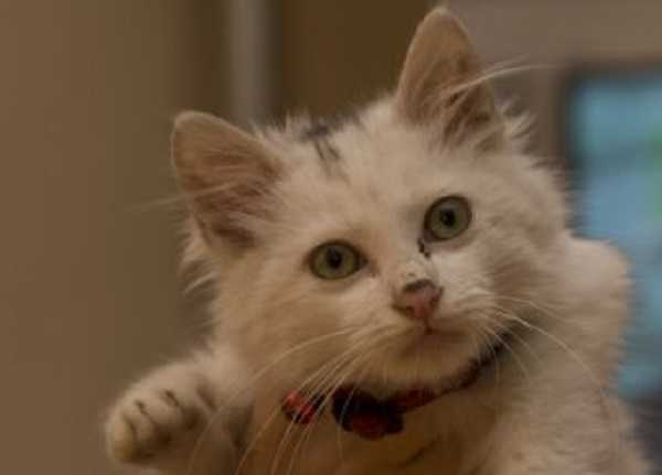 gatto angora turco4