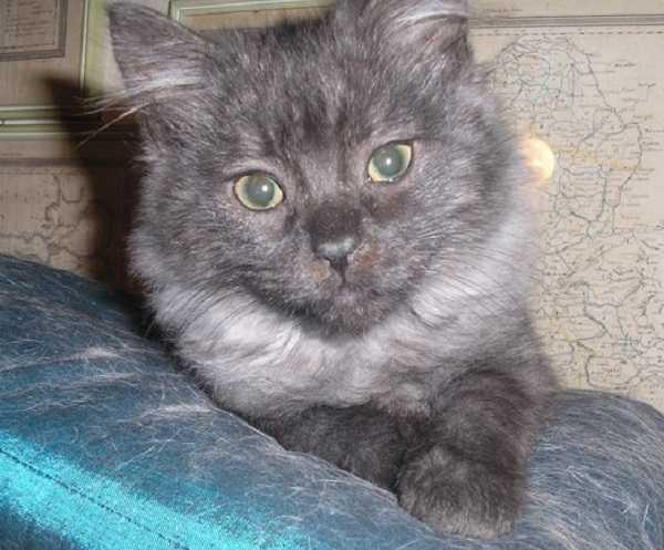 gatto angora turco5