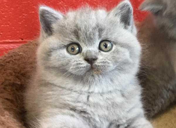 gatto british shorthair cucciolo