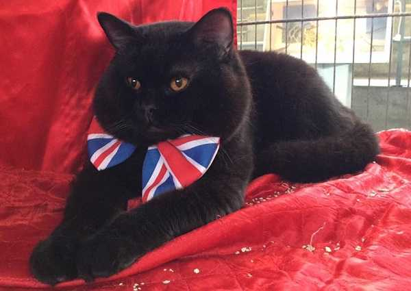 gatto british4