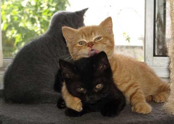 gatto british shorthair cuccioli