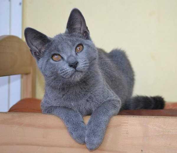 gatto certosino3