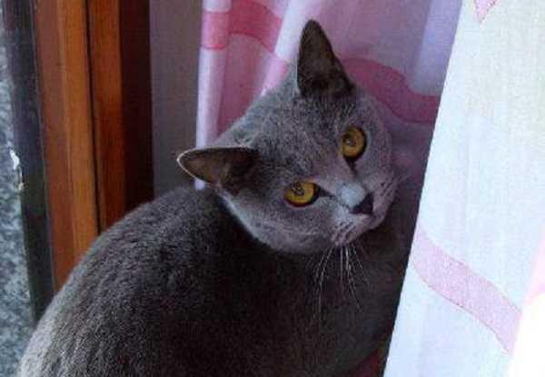gatto certosino5