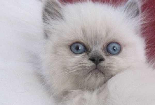 gatto himalayano3