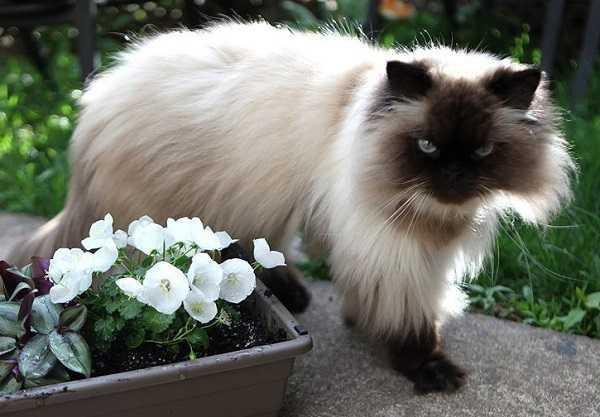Risultati immagini per gatto himalayano
