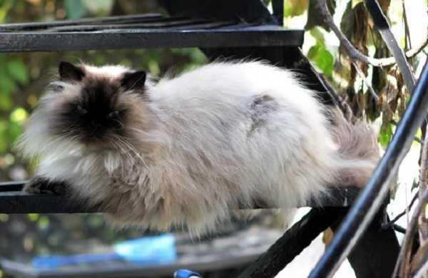 gatto himalayano6