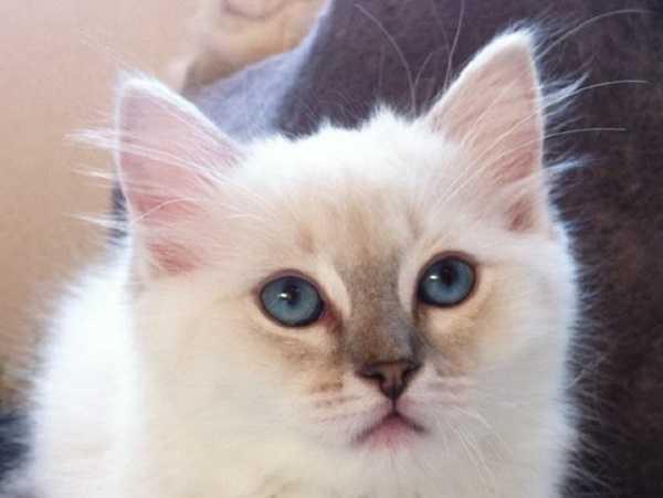 gatto ragdoll5