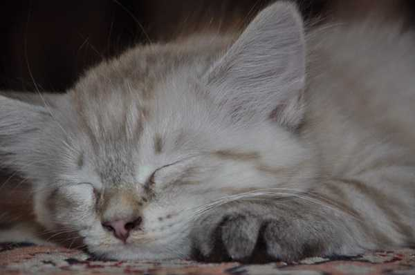 Gatto siberiano: storia