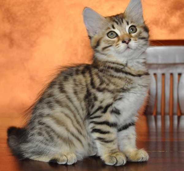 Gatto siberiano: aspetto