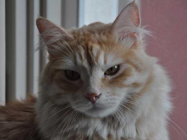 Gatto siberiano: carattere