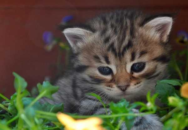 Gatto siberiano: cure e alimentazione