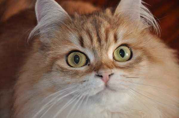 gatto siberiano6