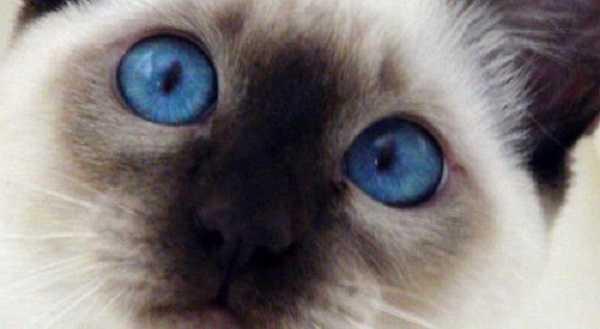 gatto thai2
