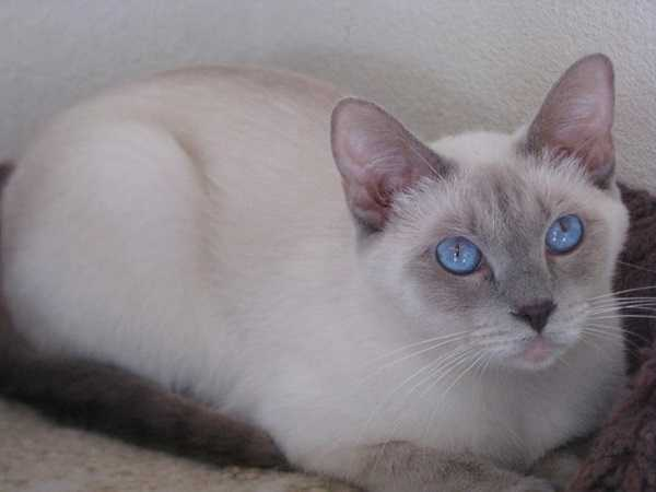 gatto thai3