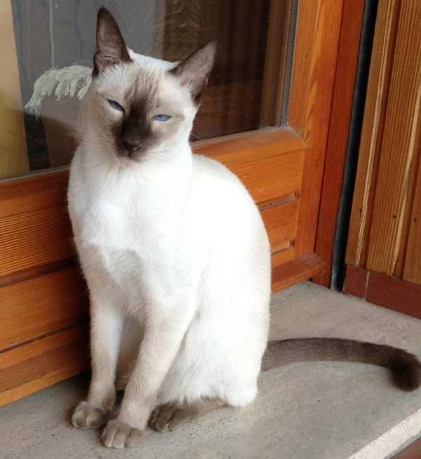 gatto thai5