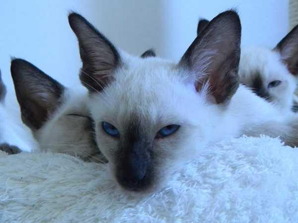 gatto thai6