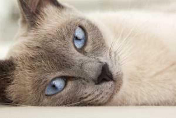 gatto thai8