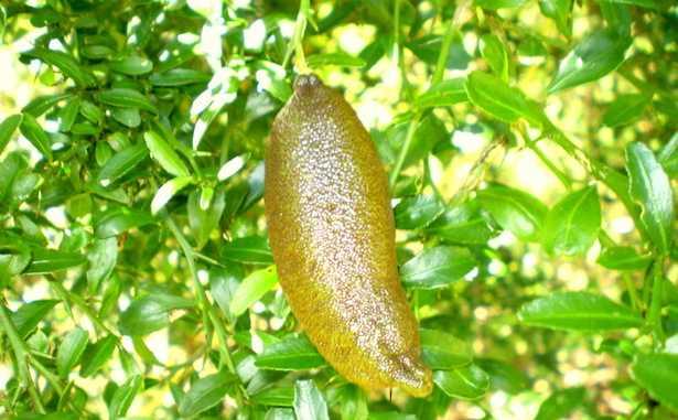 limone caviale coltivazione
