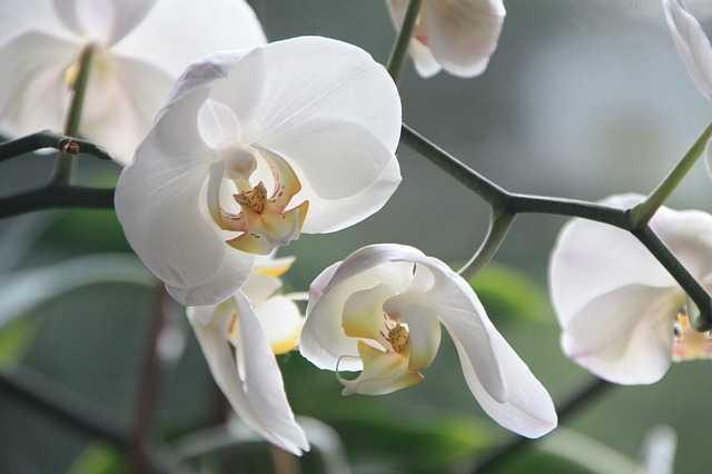 orchidea phalaenopsis coltivazione