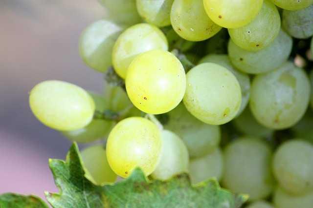 Uva propriet e controindicazioni idee green - Coltivare uva da tavola in vaso ...