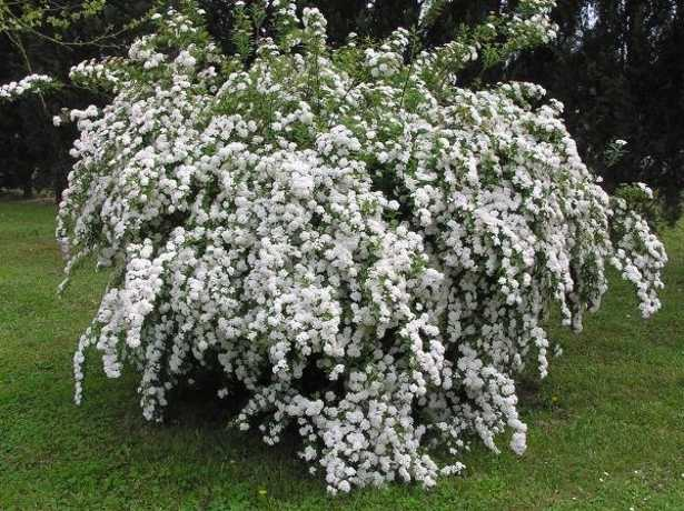 arbusti da giardino per tutte le stagioni idee green