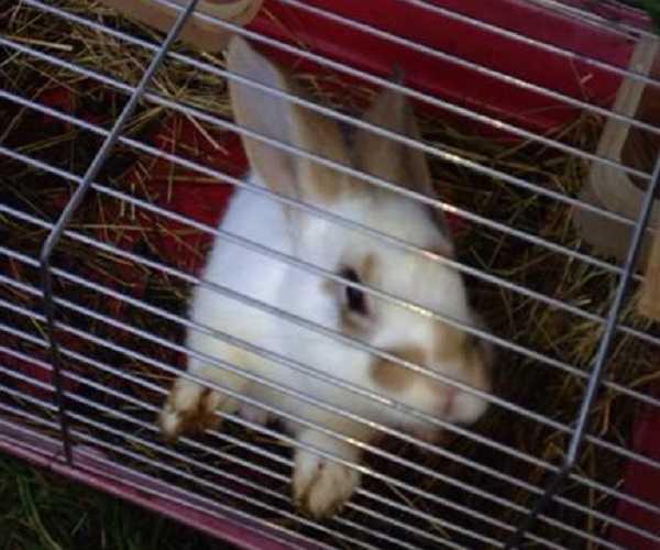 coniglio nano gabbia