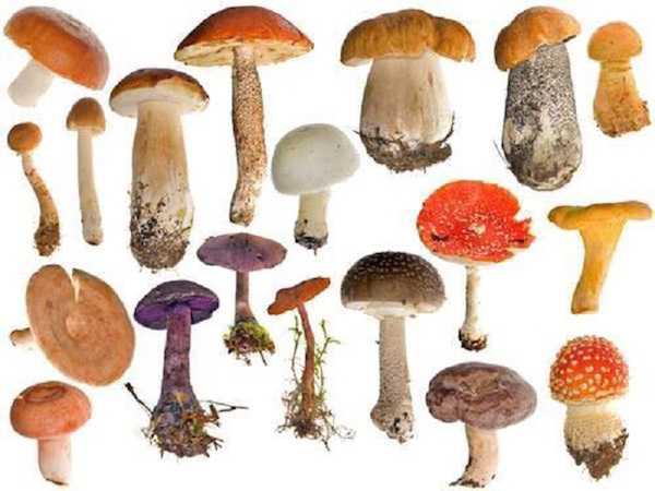 funghi velenosi come riconoscerli