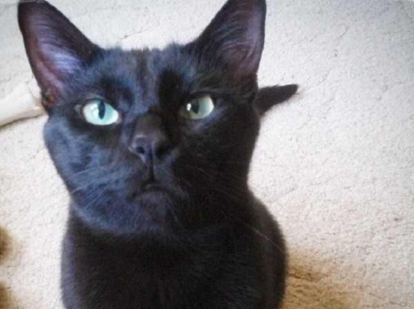gatto bombay1