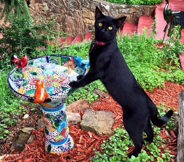 gatto bombay2