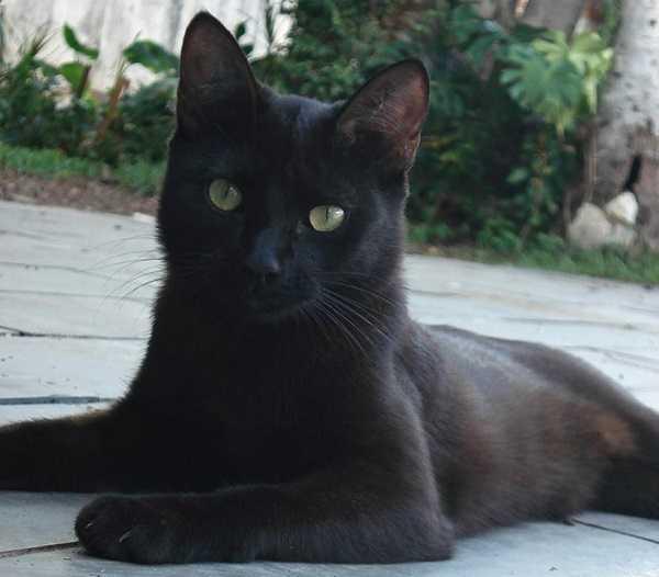 gatto bombay4
