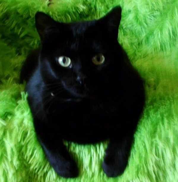 gatto bombay5