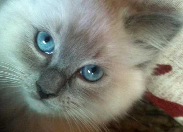 gatto ragdoll primo piano