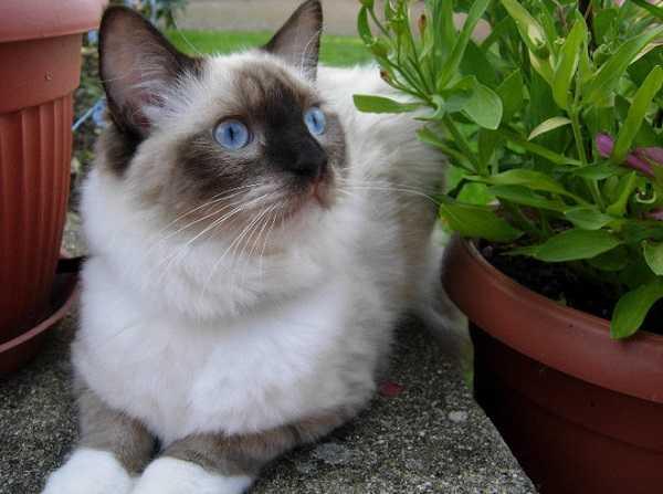 gatto ragdoll accovacciato