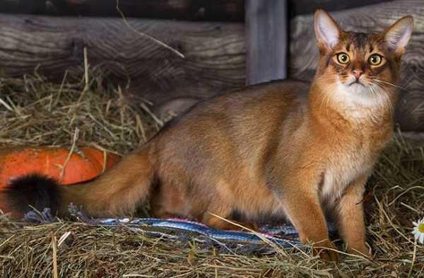 gatto somalo1