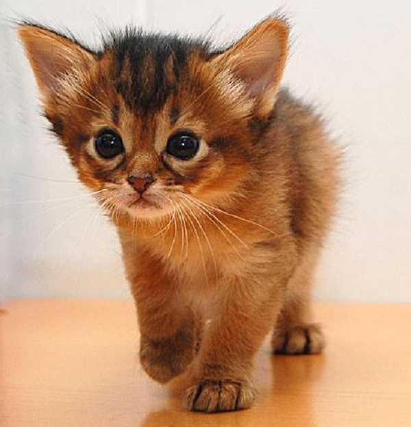 gatto somalo2