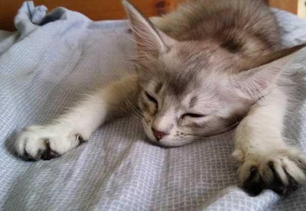 gatto somalo3