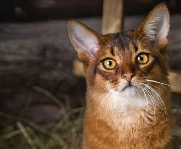 gatto somalo4