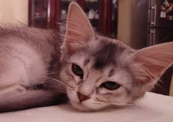 gatto somalo5