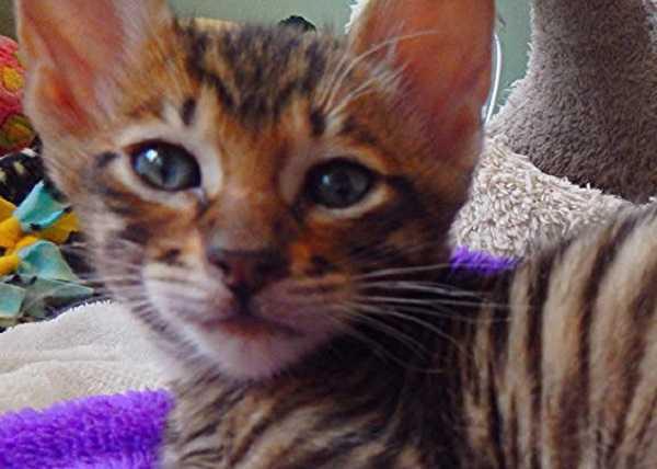 gatto toyger1