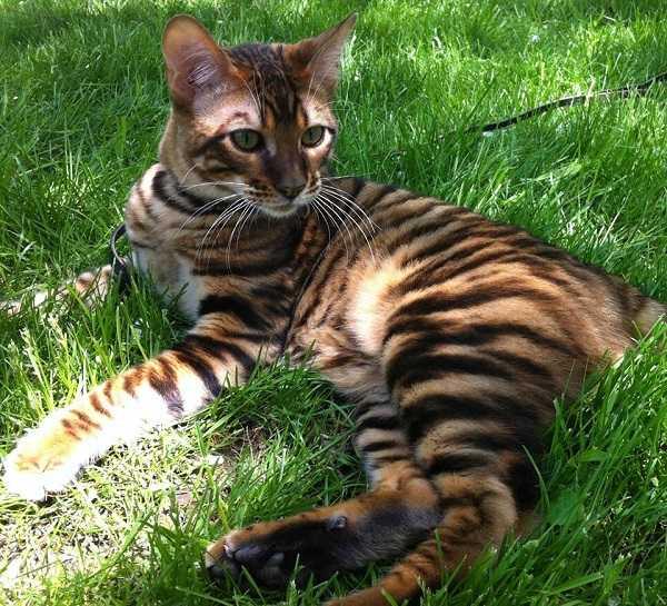 gatto toyger2