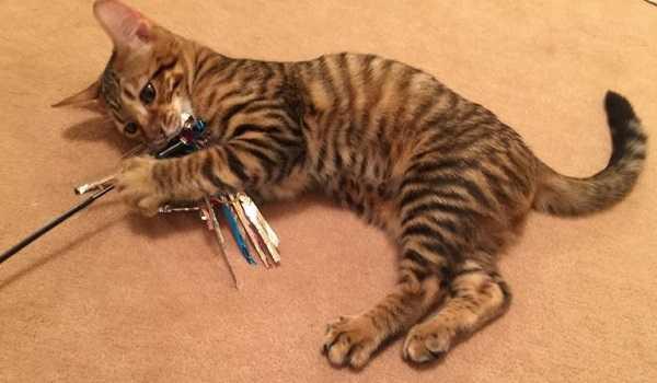 gatto toyger5