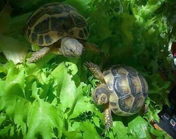 Letargo delle tartarughe come affrontarlo idee green for Tartarughe appena nate